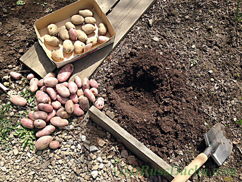 Planting potatoes at Soviet Dacha in Moscow